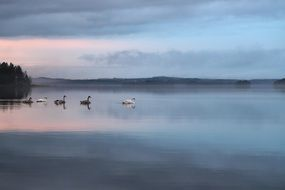 Blac and white swans in the evening lake