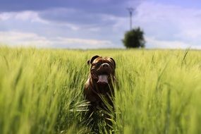 charming mastiff is running in the countryside