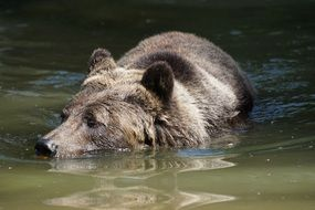 brown bear swim dirty water