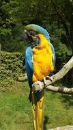 yellow and blue ara parrot sits on dry branch