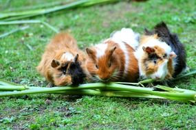 three cute guinea pigs feeding on grass