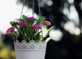 pink daisies blooming in hanging basket