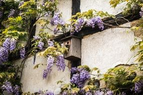 purple violet blue wisteria flowers gray wall nesting box