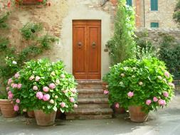 pots with blooming hydrangea at entrance door, italy, tuscany, pienza