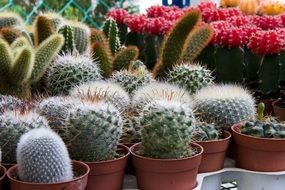 mini cacti, potted plants for sale