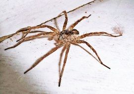 common house spider, arachnid