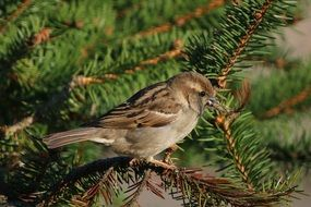 female Sparrow sitting on spruce branch