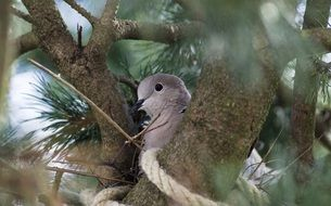 collared dove in nest on pine