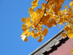 ginkgo leaves fall autumn golden