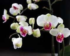 moth orchid, blooming potted plant