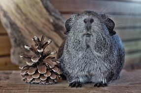 grey smooth haired guinea pig looking straight