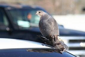 hawk with catched pigeon sits on car roof in city