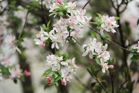 apple tree branches with pink flowers