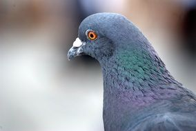 wild pigeon, head close up