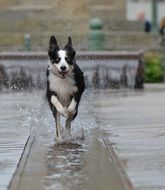 running dog in a spray of water