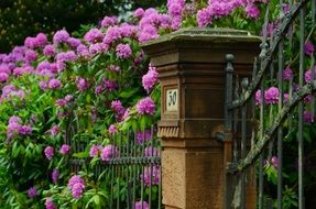 blooming rhododendron in garden at forged fence