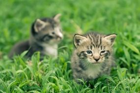 two small grey kittens on green grass