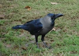 indian greynecked crow on grass