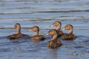 five young ducks on water