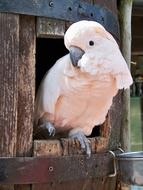 pink cockatoo looking from nest box close up