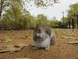 grey squirrel sitting on ground in park close up, uk, england, london