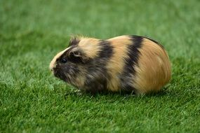 cute guinea pig on the lawn