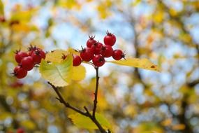 red berries on a bush in autumn