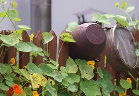 blooming nasturtiums at wooden fence with old kitchenware