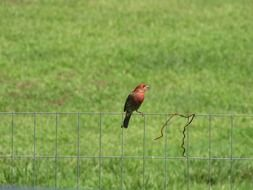 finch sits on fence at green lawn