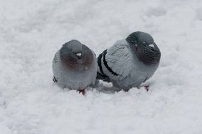 two grey pigeons sitting together on snow
