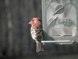 finch sits on bird feeder, close up