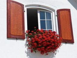 red geranium flowers at window with shutters