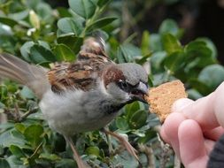 sparrow feeding from person's hands