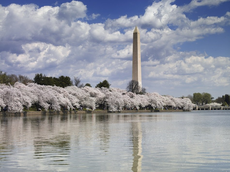 washington monument behind bloom cherry trees