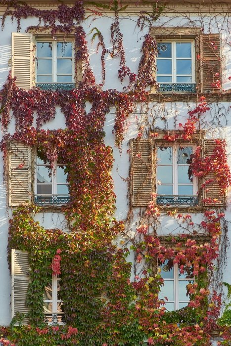 vine with colorful leaves on facade of old house