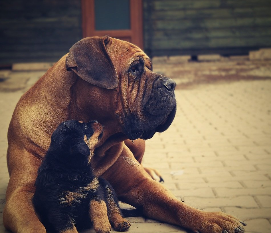 two friends rottweiler puppy dog and Mastiff