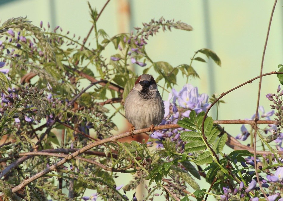 sparrow sitting on blooming branch