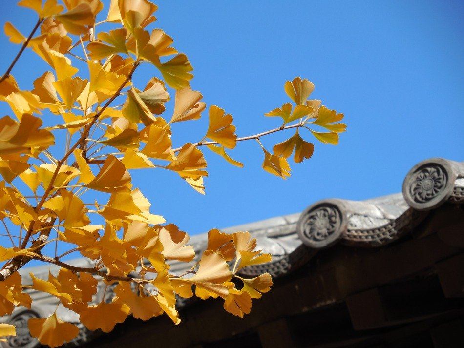 ginkgo leaves fall autumn golden asia