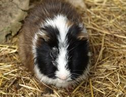 guinea pig sea E2 80 8B E2 80 8Bpig house sweet