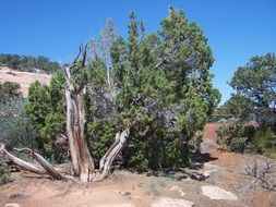 dead tree among green junipers in desert, usa, colorado national monument
