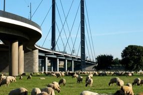 sheep herd grazing on meadow beneath suspension bridge, germany, düsseldorf