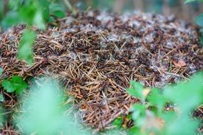 Forest anthill close-up
