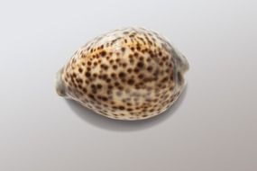 cowrie snail shell close up