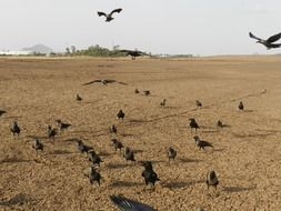 indian house crows gathering at brown soil