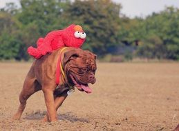 bordeaux mastiff dog running with red toy on back
