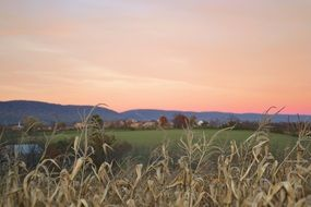 dry corn plants on field in countryside at evening
