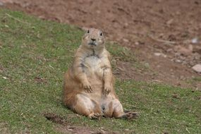 prairie dog sitting on ground looking straight