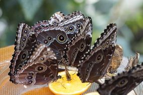 The Peleides Blue Morpho drink fruit nectar