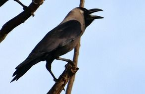 perched indian house crow