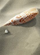 white and brown shell of sea snail on grey sand